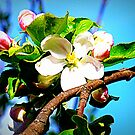 Apple Blossom by The Creative Minds