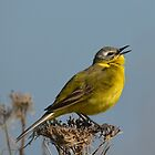 Yellow Wagtail - singing by Peter Wiggerman