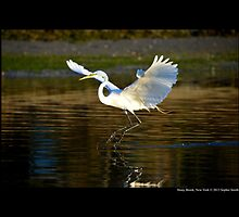 Ardea Alba - Great White Egret Landing On Porpoise Channel - Stony Brook, New York by © Sophie W. Smith
