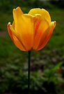 single varigated yellow tulip by dedmanshootn