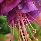 Fuchsia's Beauty by Lynn Gedeon