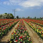 Colorful Tulip Field by ienemien