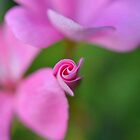 Bud in bloom by HanieBCreations