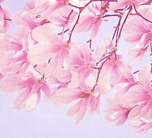 Pink Magnolias by afeimages