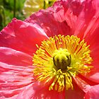 Bright pink poppy by artsieaspie