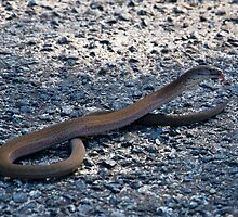 Legless lizard or a snake ? by miroslava