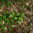 Ramps Among the Leaves by Chad Burrall