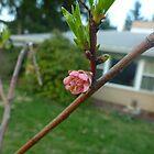 Peach Blossom by Chad Burrall