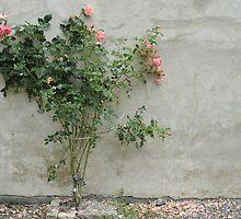 Rose bush by Talida Pacurar