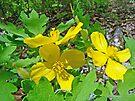Celandine Poppy or Wood Poppy - Stylophorum diphyllum by MotherNature