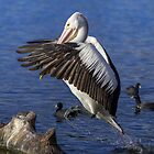 How High ???? Pelican Canberra Australia  by Kym Bradley