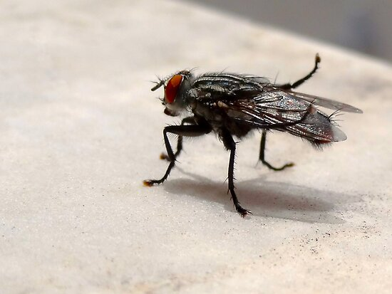 A Fly Resting by DrThanWho