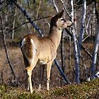 Little White Tail Buck by Vickie Emms