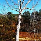 A Birch Tree Mid Day by Nazareth