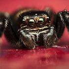 Jumping spider drinks water by Mario Cehulic