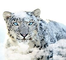 Snow leopard print by calpo