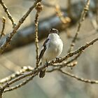 Pied Flycatcher by VoluntaryRanger