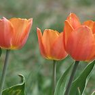 The First Three Tulips Of The Spring by Tracy Faught