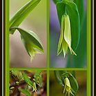 Perfoliate Bellwort Wildflower - Uvularia perfoliata by MotherNature
