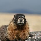 Colorado Marmot by Dazie4252