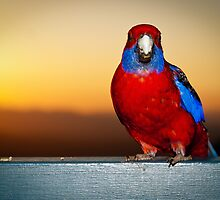 Sunset Rosella by Karen Willshaw