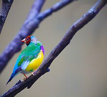 Rainbow Finch by Stephanie Jensen