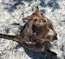 Rock Wallaby 3 by Emily McAuliffe