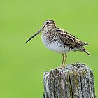 Wilson's Snipe at Twilight by Bill McMullen