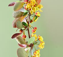 Blooming berberis by 7horses