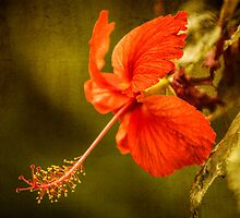 Red Hibiscus Flower by mlphoto