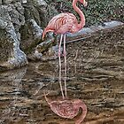 Flamingo by Glen Allen