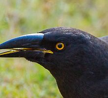 beak detail of the currawong by Ron Co