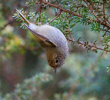 Tasmanian Thornbill by Ron Co