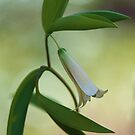 Bellwort --- Spring 2013 by T.J. Martin
