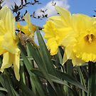 Bunch of yellow daffodils and twins. by Avril Harris