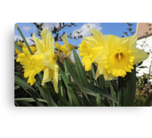 Bunch of yellow daffodils. Canvas Print