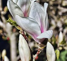 Majestic Magnolia in bloom by Avril Harris