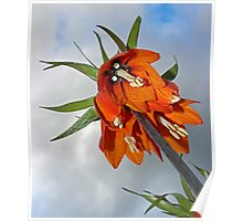Orange Fritillaria from underneath Poster