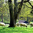 Sheep in the meadow by mikebov