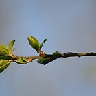 Plum Blossom Branch by Nixcy