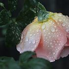 Raindrops on roses by Kaylene Passmore