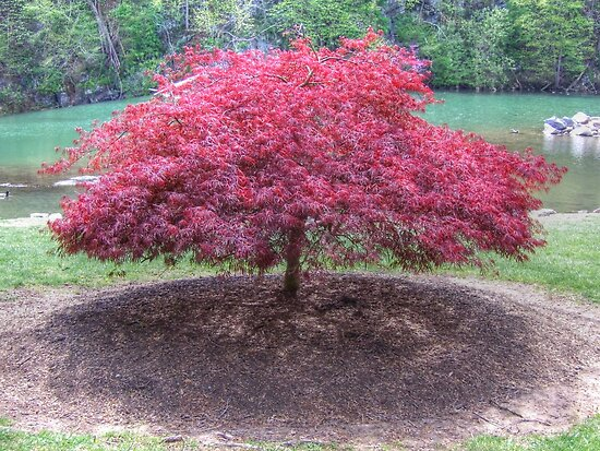 Red Laceleaf Japanese Maple by James Brotherton