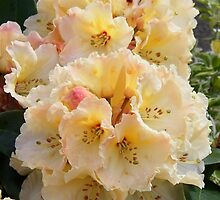 Beautiful Rhododendron  by LoneAngel