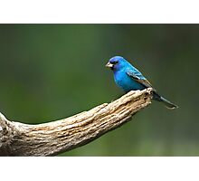 Little Garden Visitor - Indigo Bunting Photographic Print