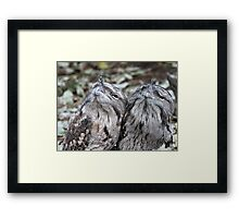 Tawny Frogmouth twins Framed Print