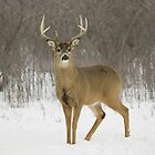 Buck by SandraWidner