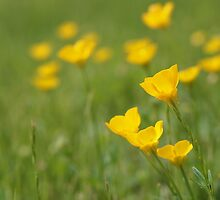 Buttercups Galore! by Linda  Makiej