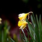 Daffodil by gardencottage