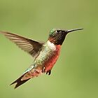 Hovering Hummingbird by Gregg Williams
