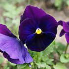 Purple Pansy by Linda Makiej